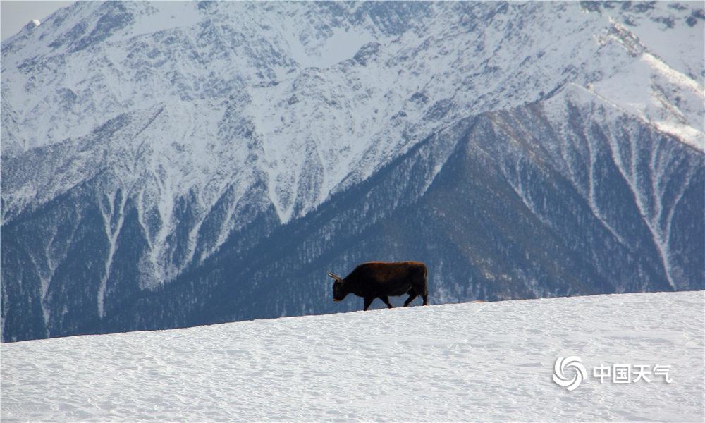 """四川阿坝州暗水县境内三奥雪山海拔 4400米的巴谷众峰,终年守护着三奥雪山之父奥太基,有""""守护神""""之称,这边世代居住着亲炎益客的嘉绒藏族。站在山顶,雪山全景一目了然,徒步在雪白的世界中,游行在天地之间,仿佛伸手就能触摸天与地的魅力。图片12月31日拍摄于三奥雪山。(图/文 一坤)"""