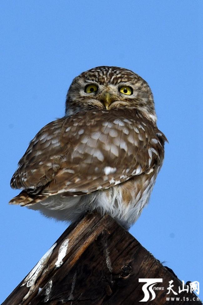 2019年2月13日,国家二级野生保护动物纵纹腹小鸮在木杆上四周张望.