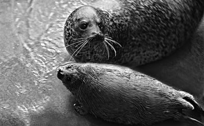 沈阳森林动物园斑海豹饲养员曹全顺告诉记者,斑海豹是中国国家二级保