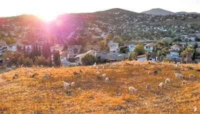 如何预防森林火灾? 美国人众筹山羊来啃草