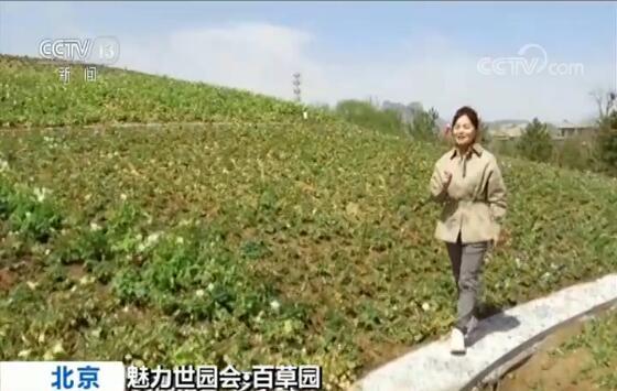 """央视记者 罗子瑛:一进""""百草园""""看到的这座开满鲜花的小山名叫""""百草芊山"""",是根据神农尝百草的故事设计的。你能想象吗?这些开满鲜花的都是中草药,花朵像铃铛的叫华北耧斗菜,正值花期,还有即将开花的板蓝根等等。游客爬上这座山不仅可以闻到阵阵药香,还能感受先贤踏遍千山,遍尝百草的艰辛。"""