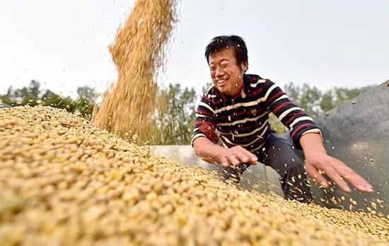 2018年10月8日,山东聊城贾寨镇后寨村田间,农民忙着收获大豆 赵玉国摄