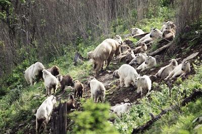 秦岭羚牛种群数量稳中有增