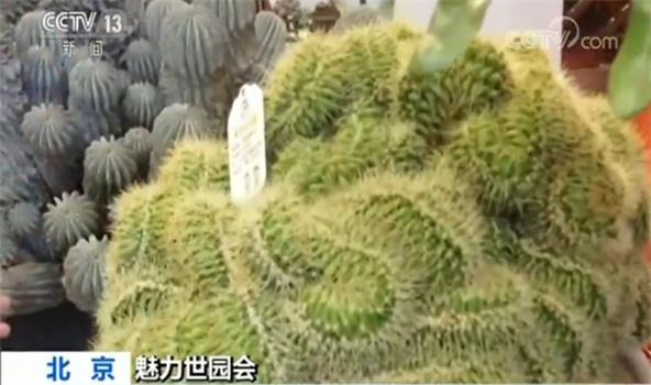 """央视记者罗子瑛:中国馆北京展厅这一次换陈用到了116组新的植物展品,有当季的比如说荷花,还有经过花期调控原本只在冬天绽放的腊梅,但是我最想为大家推介的还是这两盆""""重器"""",这一盆是大戟科的多肉植物名叫白衣魁伟玉今年已经近一百年的历史了,另外一盆叫金琥缀化,这是一种金琥的稀有变异品种像不像一头盘龙,它今年也已经50多岁了。"""