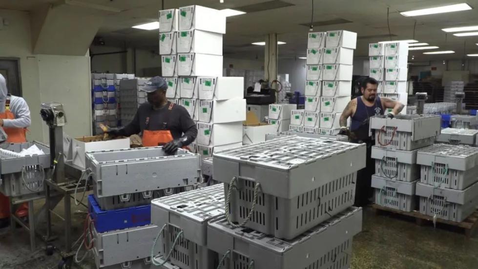 工人正在包装龙虾。(视频截图)