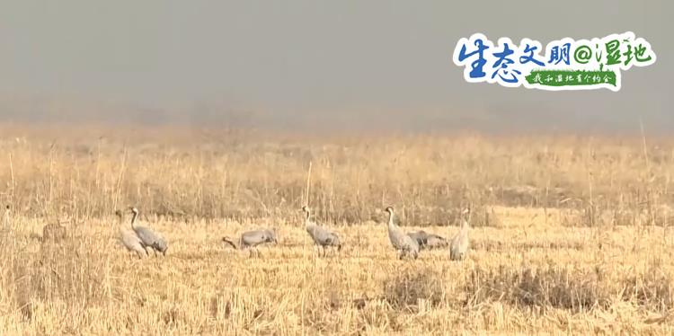 而位于新疆南部的和田园区墨玉县南坪库区湿地,随着稻田湿地面积的增补和当地群多珍惜认识的挑高,越来越多的鸟类在这边栖休生活,今年还始次迎来2000多只越冬的灰鹤。