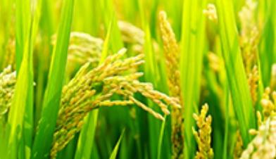 多国限制粮食出口 粮价狂奔?