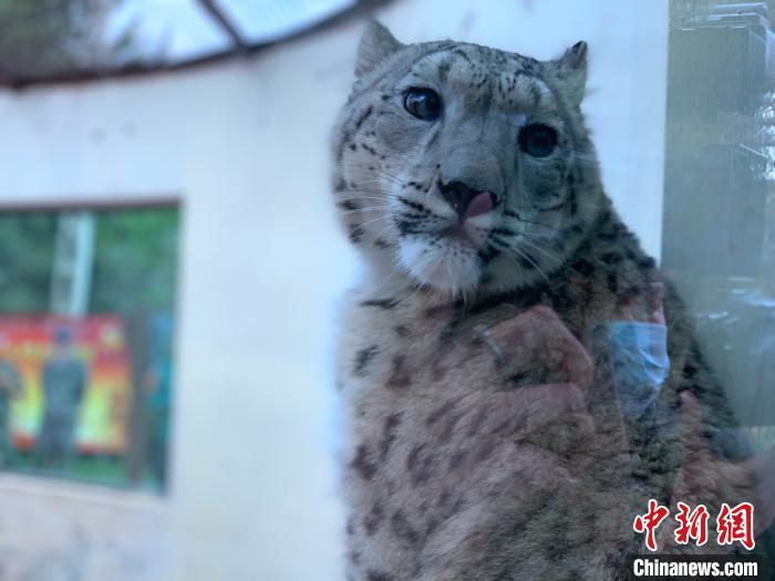 青海人工繁育雪豹姐妹花迎来一周岁生日