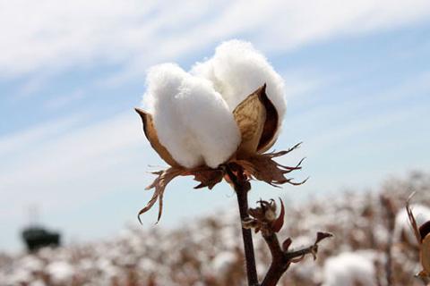 新疆:棉花秸秆微贮技术助农牧民脱贫致富