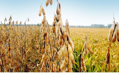 中国采购美豆缓解需求担忧 豆类涨势放缓