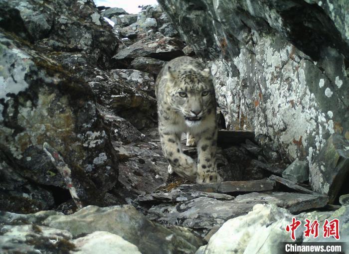 四川卧龙:雪豹监测实现首个全覆盖 监测强度居全国前列