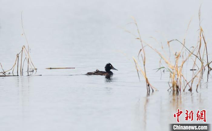 探访武汉府河湿地:鸟类天堂 青头潜鸭的繁殖地