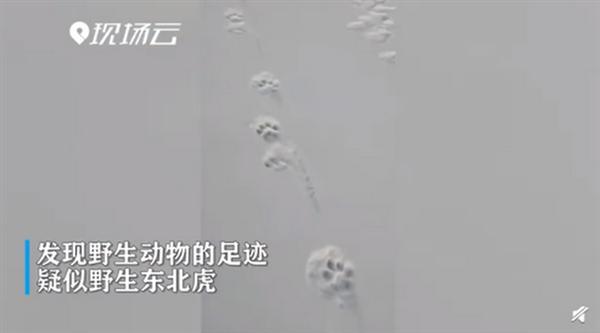 黑龙江边境发现野生东北虎脚印 网友:真是太罕见了