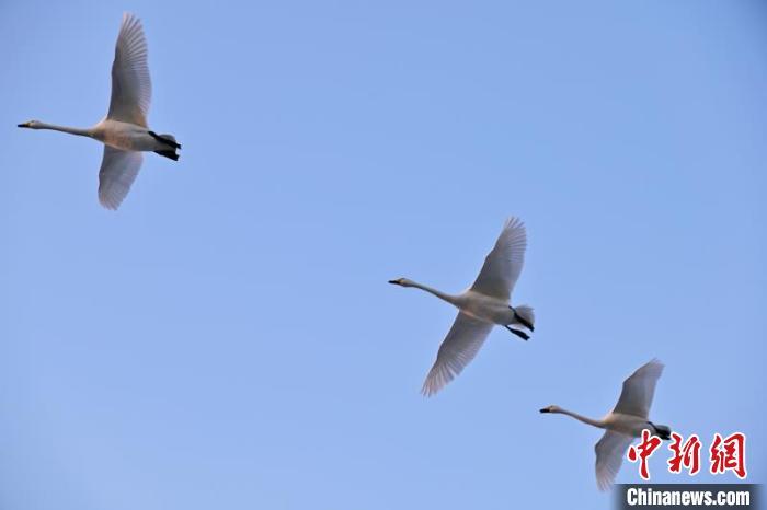 新疆塔里木河流域湿地成越冬鸟类栖息天堂