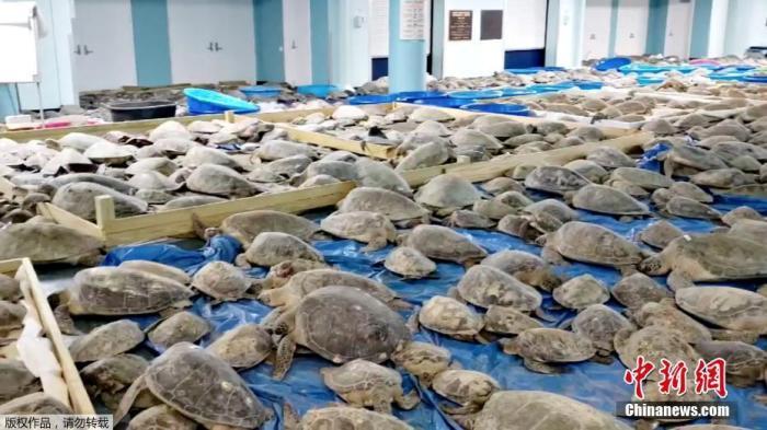 """美得州暴风雪""""冻晕""""数千只海龟 志愿者紧急救助(图)"""