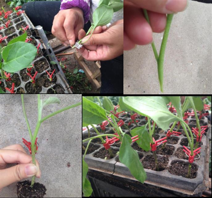 北京市农业技术推广站提醒:茄果类蔬菜嫁接育苗应该这样进行