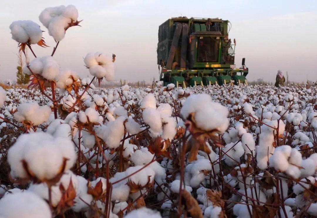 风波下的新疆棉花:棉户已锁定1.7万/吨价格,收益大涨6%!年前刚遭抢购,种植意向明显增加