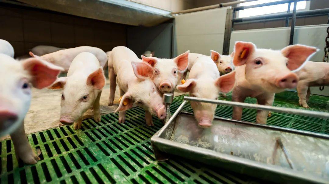 IPO速递 | 天兆猪业:名不符实的种猪龙头