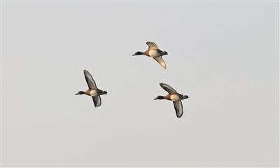 北京野生鸟类增至503种