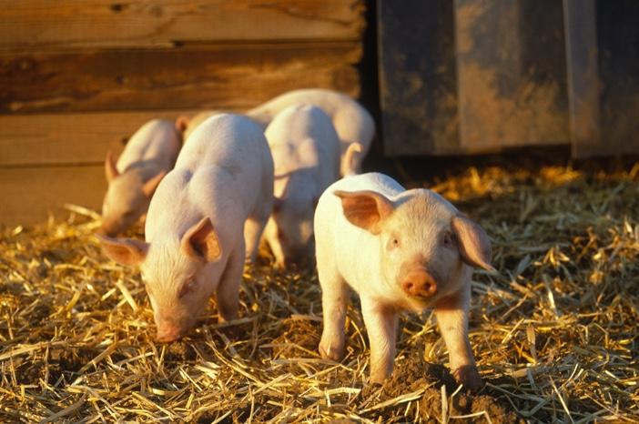 """猪还""""坚强""""吗?牧原股份赚274亿秒杀鹏都农牧,新希望跟着生猪跌不休"""