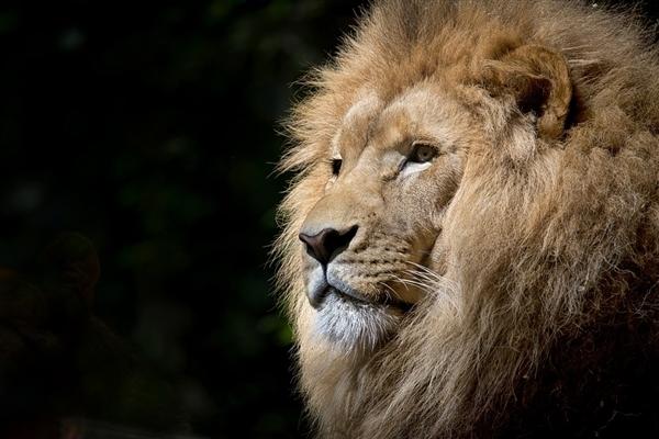 印度疫情蔓延至动物!印度一动物园8头狮子确诊新冠:已停止开放