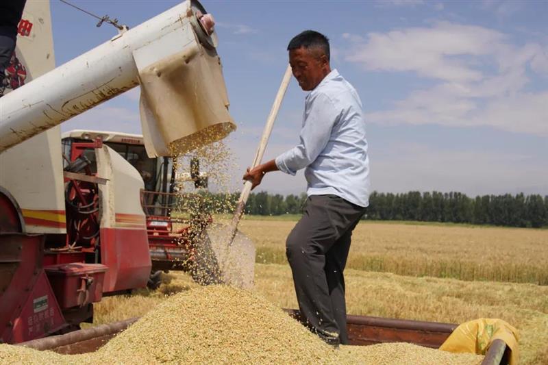 内蒙古河套灌区76万亩春小麦开镰收割