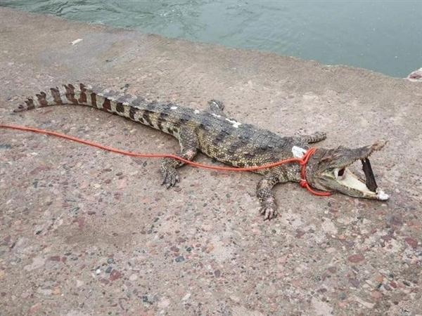 河北被非法放生鳄鱼已死亡:湖水不适宜其生存、已捕捞上岸