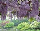 嘉定紫藤园